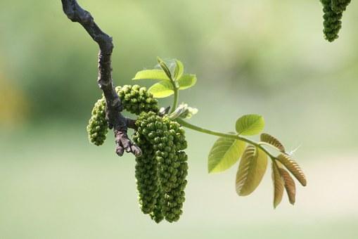 Walnut, fiore del cambiamento